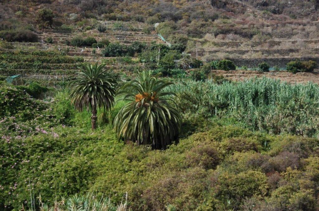 Palmeras-canarias-en-la-zona-conocida-como-La-Hacienda